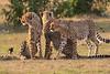 Cheetah_Cubs_Mara_Kenya_Asilia_20150237
