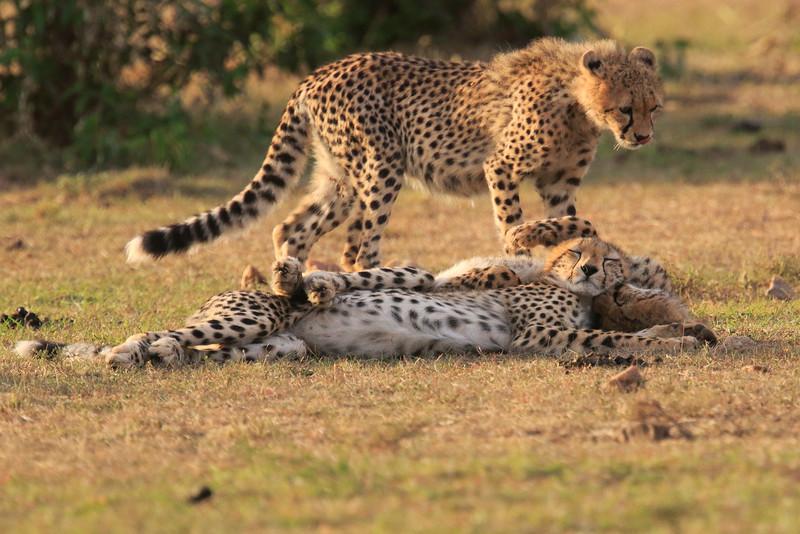 Cheetah_Cubs_Mara_Kenya_Asilia_20150188