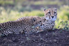 Cheetah_Family_Phinda_2016_0114