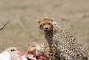 Cheetah_Feast_Mara_Kenya_Asilia_20150272