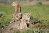 Cheetah_Family_Phinda_2016_0142