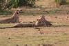 Cheetah_Cubs_Mara_Kenya_Asilia_20150287