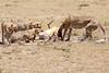 Cheetah_Feast_Mara_Kenya_Asilia_20150064