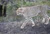 Cheetah_Family_Phinda_2016_0126