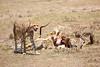 Cheetah_Feast_Mara_Kenya_Asilia_20150113