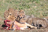 Cheetah Cubs Family Kill Mara Topi House