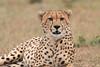 Cheetah_Mara_Asilia_Kenya0040