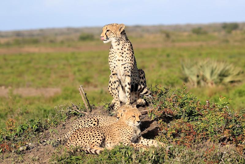 Cheetah_Family_Phinda_2016_0145