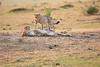 Cheetah_Cubs_Mara_Kenya_Asilia_20150111