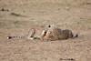 Cheetah_Cubs_Mara_Kenya_Asilia_20150151