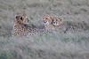 Cheetah_Family_Phinda_2016_0072