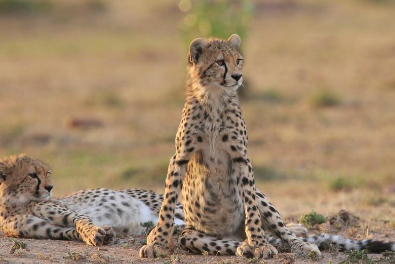 Cheetah_Cubs_Mara_Kenya_Asilia_20150255