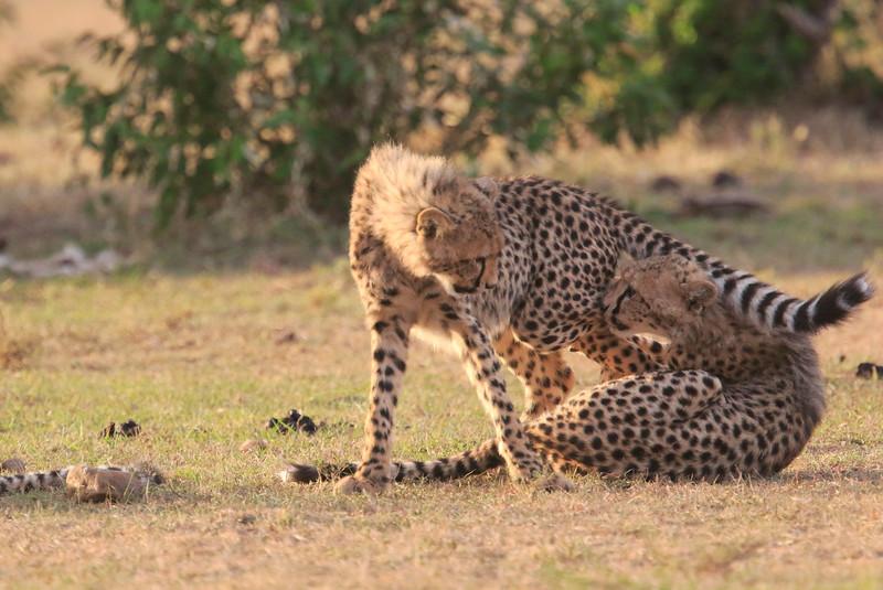 Cheetah_Cubs_Mara_Kenya_Asilia_20150226