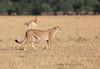 Cheetah Cubs Morning Hunt Mara Topi House