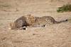 Cheetah_Cubs_Mara_Kenya_Asilia_20150155