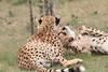 Cheetah_Mara_Asilia_Kenya0058