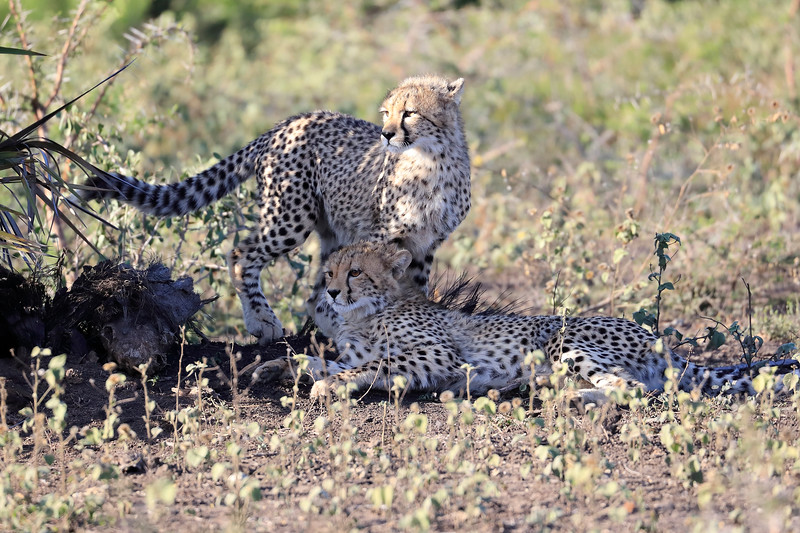 Cheetah_Family_Phinda_2016_0136