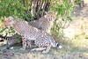 Cheetah_Cubs_Mara_Kenya_Asilia_20150045