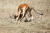 Cheetah_Feast_Mara_Kenya_Asilia_20150169