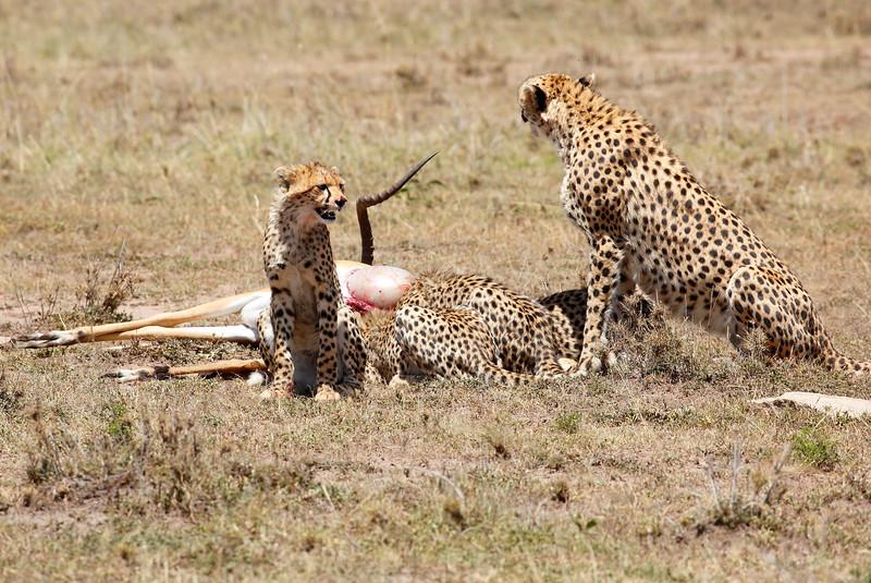 Cheetah_Feast_Mara_Kenya_Asilia_20150092