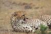 Cheetah_Mara_Asilia_Kenya0031