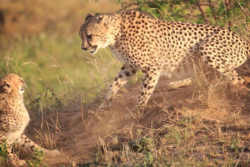 Cheetah_Adventure_Phinda_2016_0060