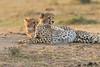 Cheetah_Cubs_Mara_Kenya_Asilia_20150252