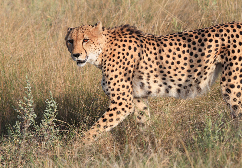 Cheetah Botswana
