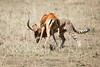 Cheetah_Feast_Mara_Kenya_Asilia_20150145