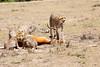 Cheetah_Feast_Mara_Kenya_Asilia_20150051