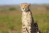 Cheetah_Family_Phinda_2016_0146