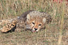 Cheetah Cubs Feeding Mara Topi House