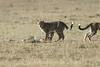 Cheetah_Cubs_Mara_Kenya_Asilia_20150262