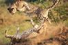 Cheetah_Adventure_Phinda_2016_0038