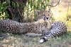 Cheetah_Cubs_Mara_Kenya_Asilia_20150064