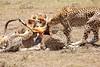 Cheetah_Feast_Mara_Kenya_Asilia_20150079