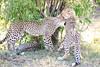 Cheetah_Cubs_Mara_Kenya_Asilia_20150043
