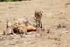 Cheetah_Feast_Mara_Kenya_Asilia_20150050