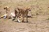 Cheetah_Feast_Mara_Kenya_Asilia_20150125