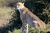 Cheetah_Family_Phinda_2016_0008