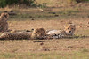 Cheetah_Cubs_Mara_Kenya_Asilia_20150290