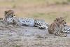 Cheetah_Cubs__Mara_Kenya_Asilia_20150005