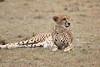 Cheetah_Mara_Asilia_Kenya0032