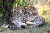 Cheetah_Cubs_Mara_Kenya_Asilia_20150090