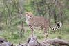 Cheetah_Mara_Asilia_Kenya0007