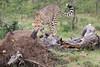 Cheetah_Mara_Asilia_Kenya0009