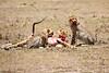 Cheetah_Feast_Mara_Kenya_Asilia_20150132