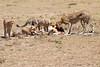 Cheetah_Feast_Mara_Kenya_Asilia_20150065
