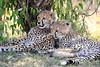 Cheetah_Cubs_Mara_Kenya_Asilia_20150074