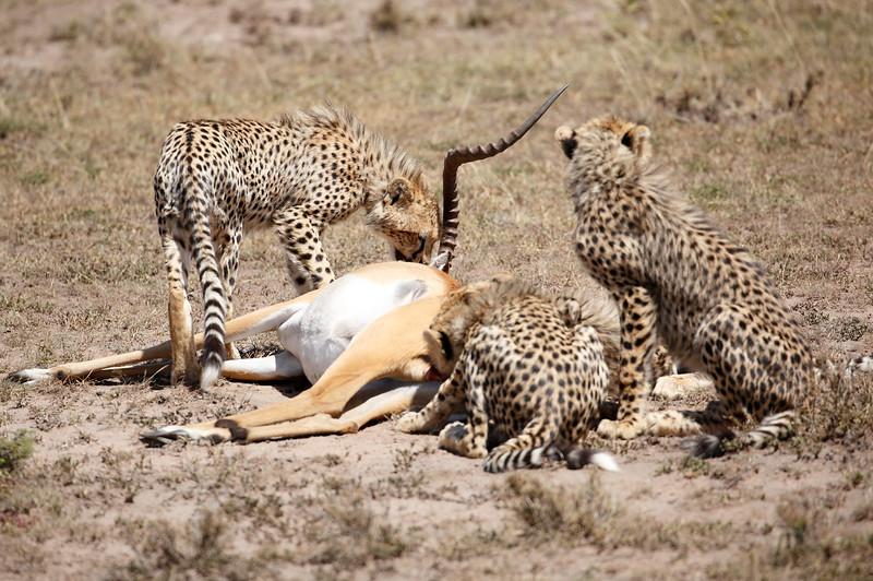 Cheetah_Feast_Mara_Kenya_Asilia_20150008